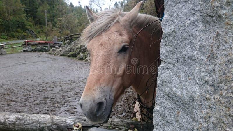 Cheval en Norvège photo libre de droits