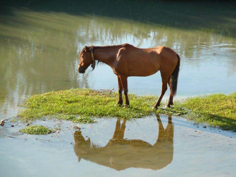 Cheval en rivière image stock