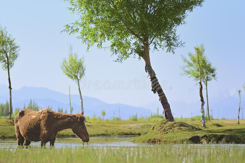 Cheval et fleuve Indus traversant des plaines dans Ladakh, Inde, photographie stock libre de droits