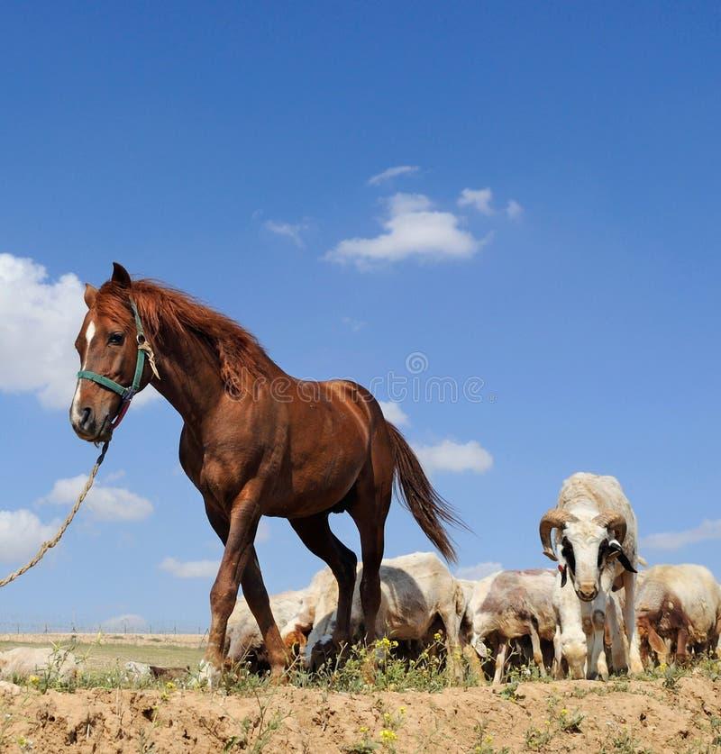 Cheval et moutons photo libre de droits