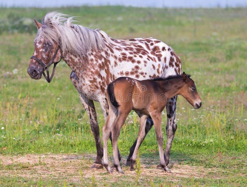 Cheval et poulain photo stock