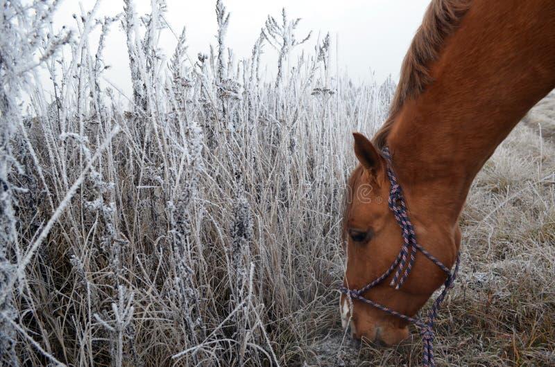 Cheval et une herbe de neige photographie stock libre de droits