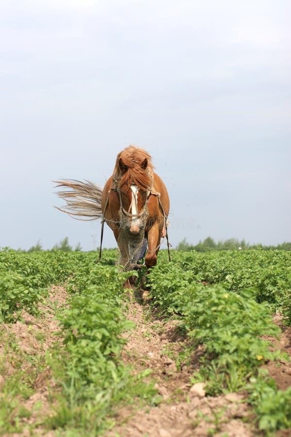 Cheval fonctionnant au Belarus photographie stock