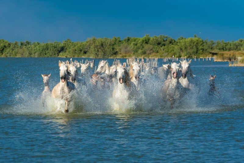 Cheval fonctionnant dans l'eau images libres de droits