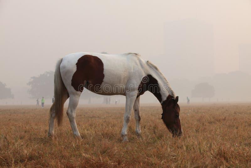 Cheval frôlant dans un matin brumeux images stock