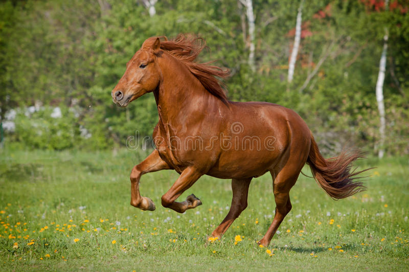 Cheval galloing photographie stock