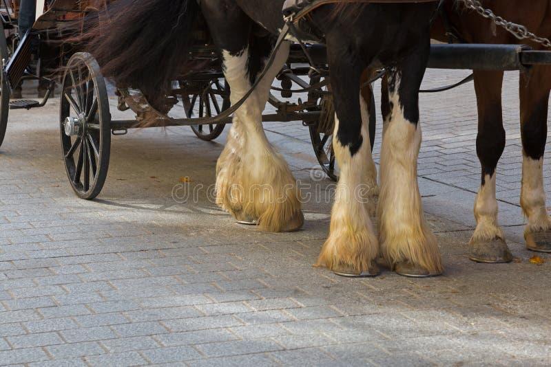 Cheval gitan avec des chaussettes de fourrures de plume blanche sur les jambes inférieures avec images libres de droits