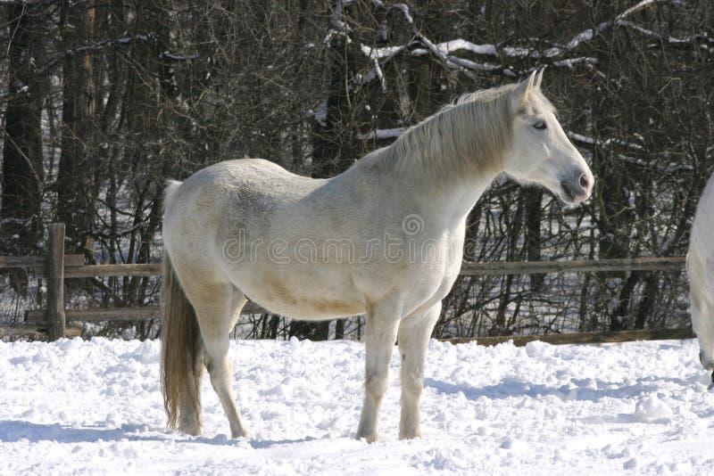 Cheval gris de pur sang dans le corral d'hiver photographie stock