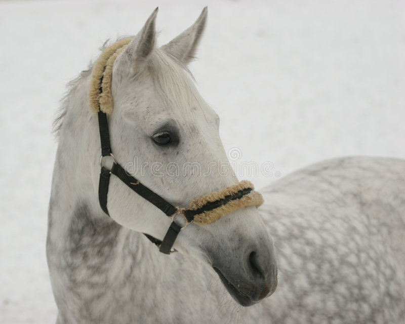 Cheval gris sur la neige image libre de droits