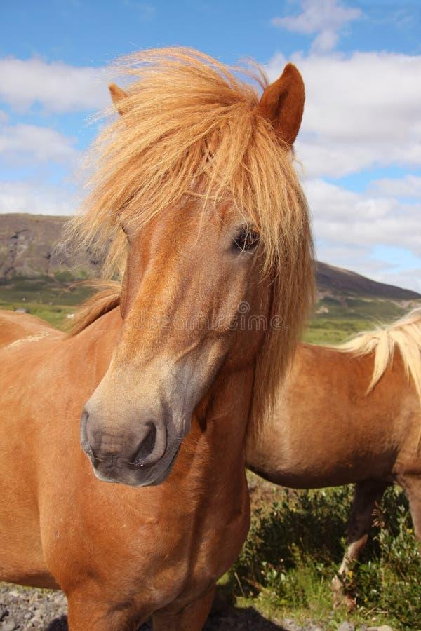 Cheval islandais photographie stock