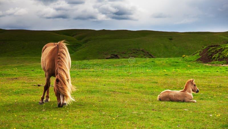 Cheval islandais authentique photo stock