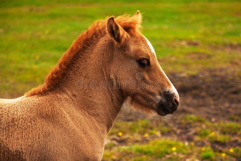 Cheval islandais authentique photo libre de droits