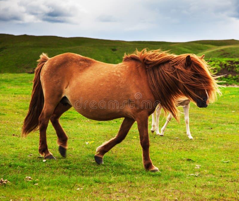 Cheval islandais authentique image libre de droits