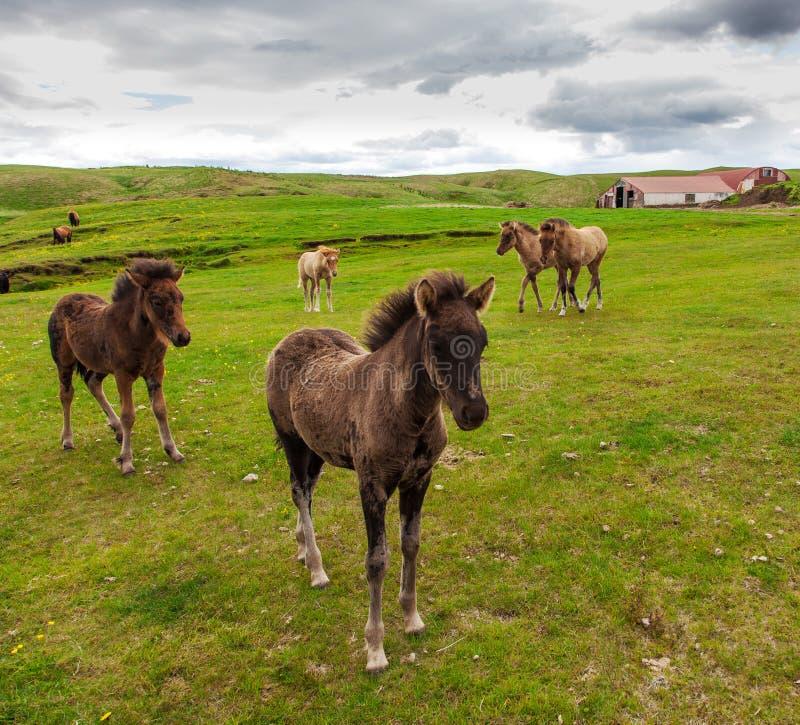 Cheval islandais authentique image stock