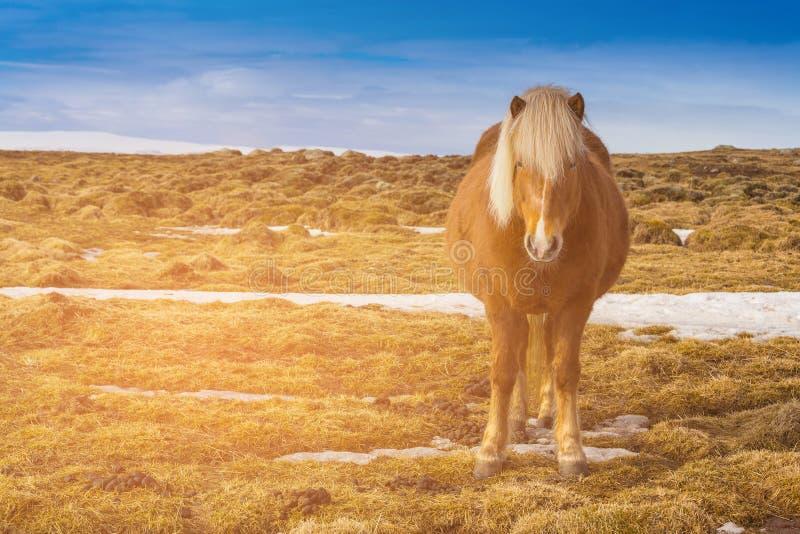 Cheval islandais de Brown au-dessus de verre sec et d'horizon bleu image libre de droits