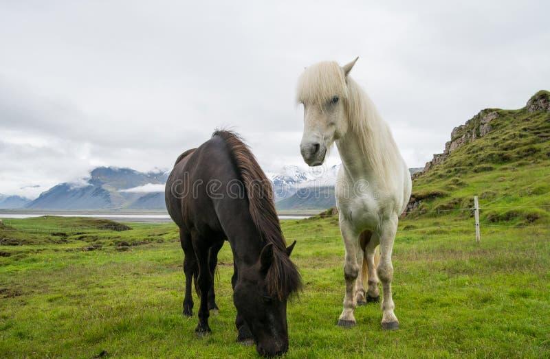 Cheval islandais noir et blanc photographie stock libre de droits
