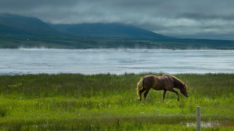 Cheval islandais sur Misty Shore images stock