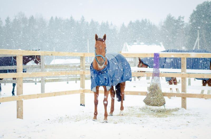 Cheval jument rouge boudyonny en linge de cheval et de halter photographie stock
