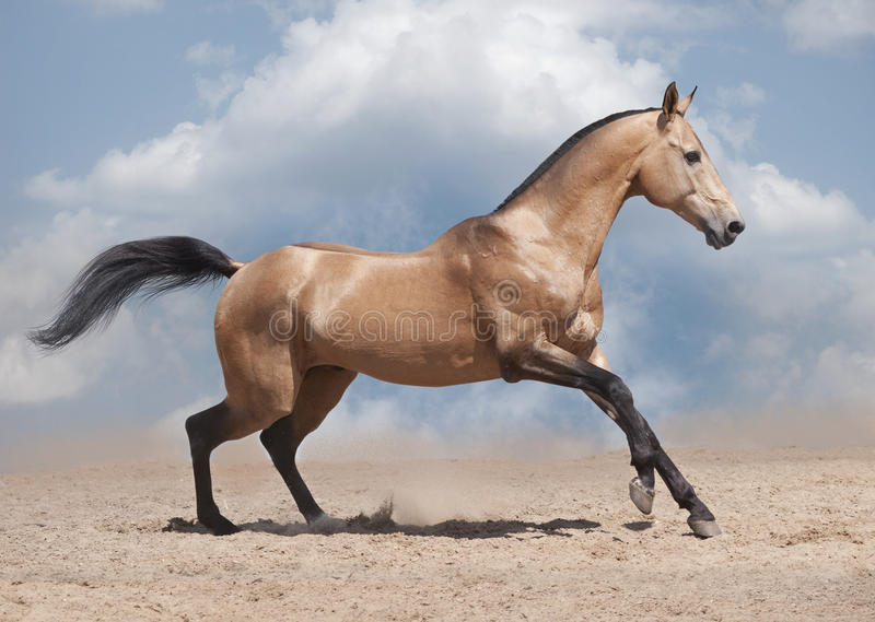 Cheval libre d'akhal-teke photo stock
