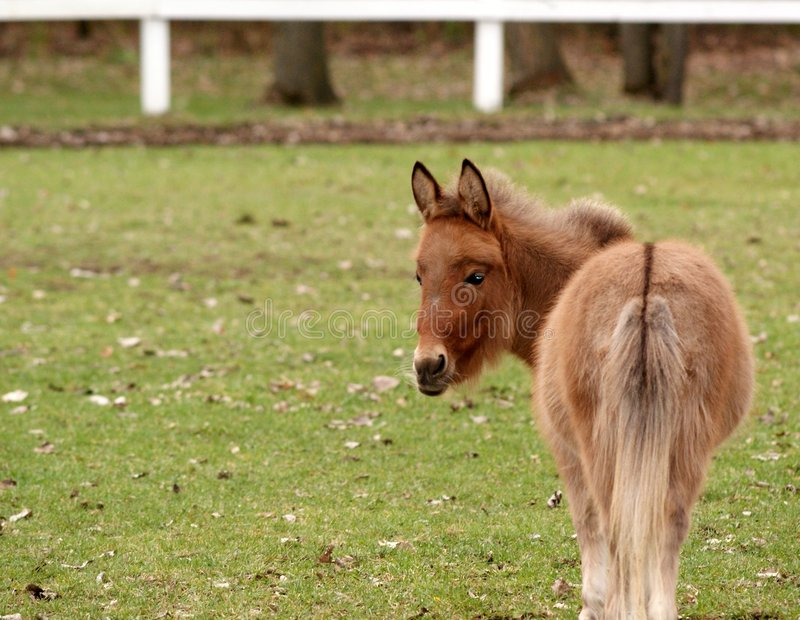 Download Cheval miniature image stock. Image du animal, chevaux - 7111961