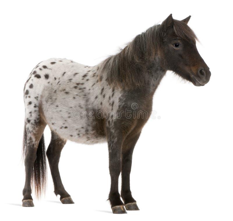 Cheval miniature d'Appaloosa, caballus d'Equus, 2 années photo libre de droits