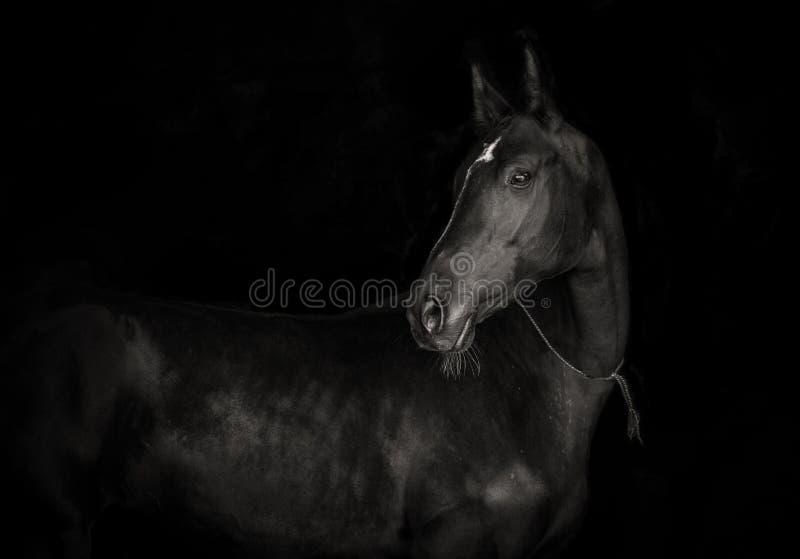 Cheval noir d'akhal-teke sur le fond noir p monochrome photographie stock