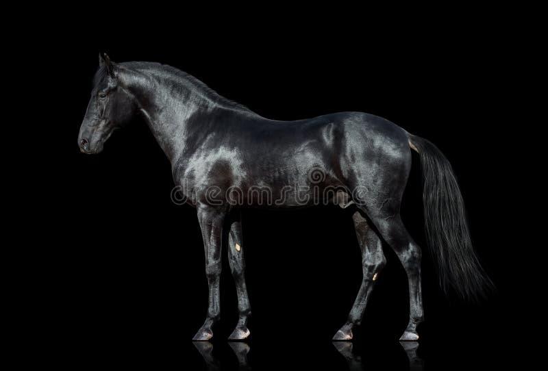 Cheval noir d'isolement sur le noir photo stock