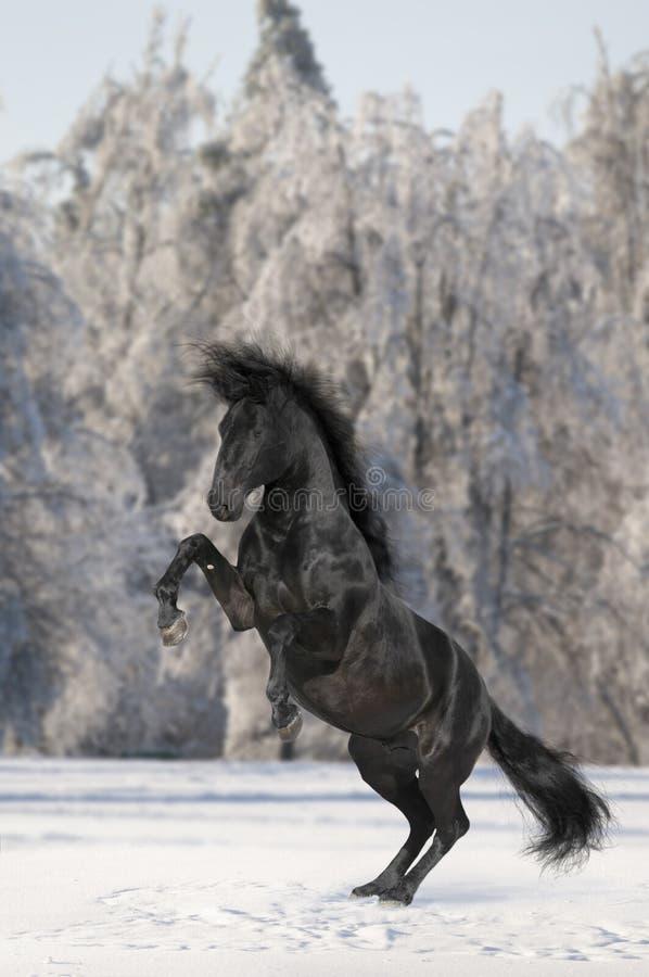 Cheval noir de Kladruber image stock