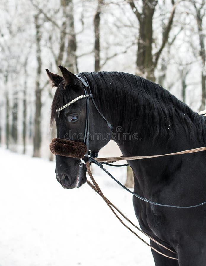 Cheval noir en hiver images libres de droits