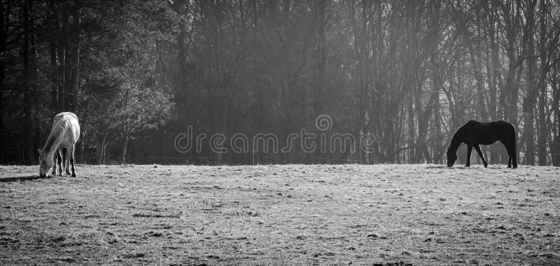 Cheval noir et blanc photographie stock libre de droits