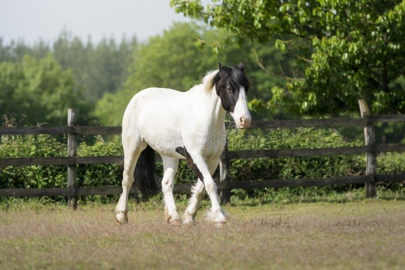 Cheval noir et blanc de peinture marchant tranquillement photo stock