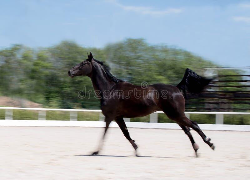 Cheval noir fonctionnant au champ en été, fond de tache floue de mouvement étalon de Nuit-corneille galopant le long de l'arène o photo stock