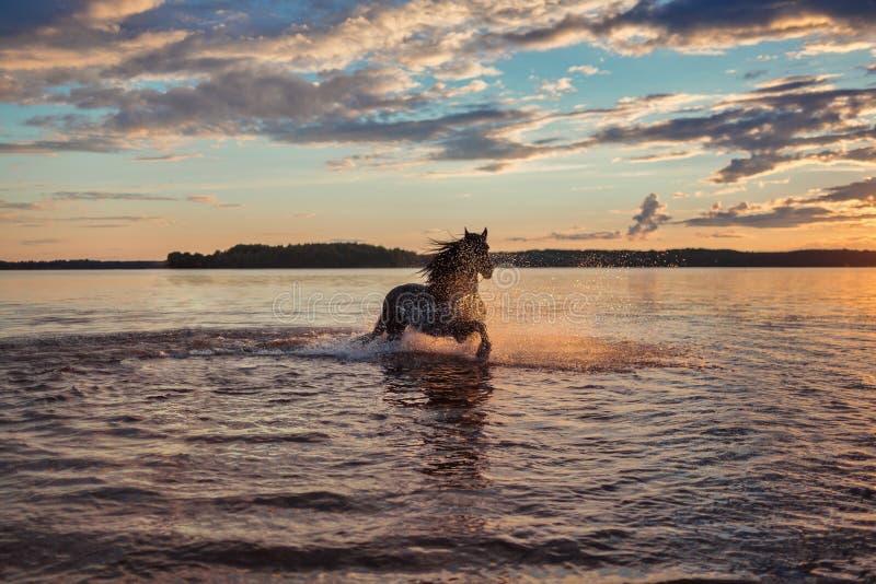 Cheval noir fonctionnant dans l'eau au coucher du soleil photographie stock libre de droits