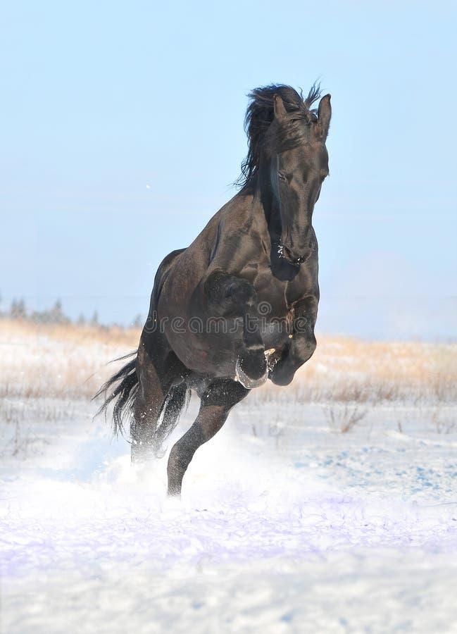Cheval noir libre dans la neige images stock
