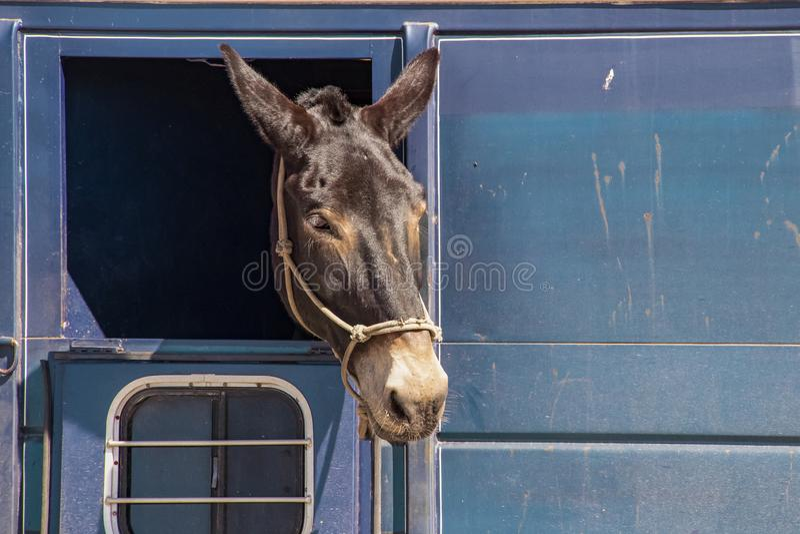 Cheval ou âne avec sa tête collant hors d'une fenêtre dans une remorque sale de cheval photographie stock