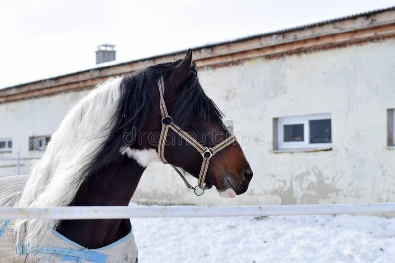 Cheval pendant l'hiver image libre de droits