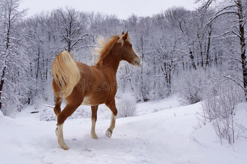 Cheval rouge dans la forêt d'hiver images stock