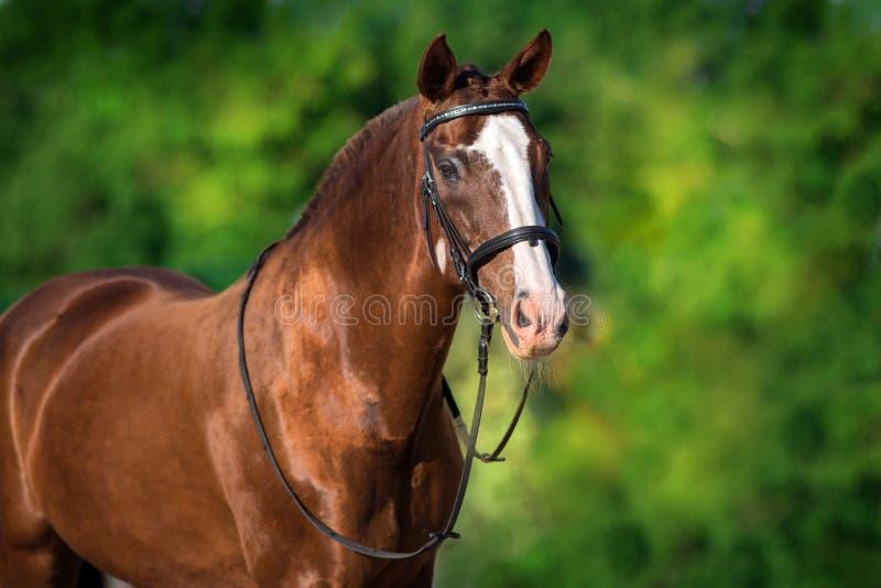 Cheval rouge dans le frein photographie stock libre de droits