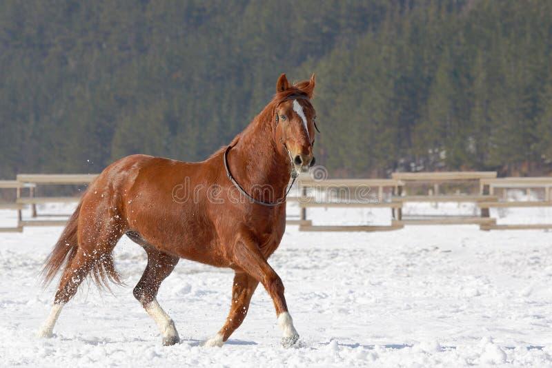 Cheval rouge fonctionnant sur la neige. photo libre de droits