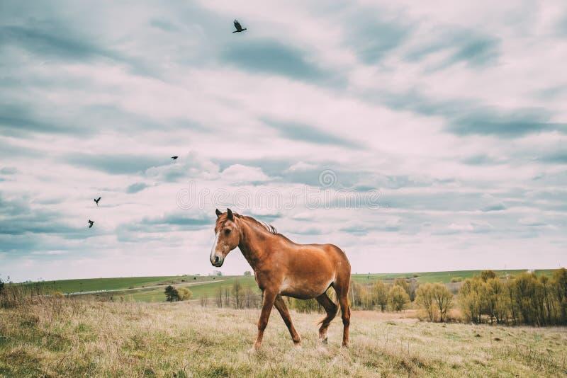 Cheval rouge frôlant sur le pré d'herbe verte au printemps du Belarus photographie stock libre de droits