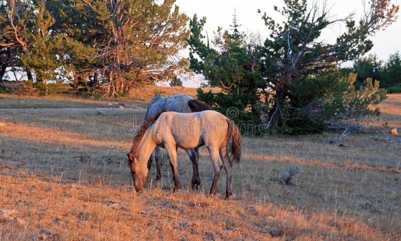 Cheval sauvage au coucher du soleil - Roan Colt bleu sur Tillett Ridge dans les montagnes de Pryor du Montana Etats-Unis photos stock