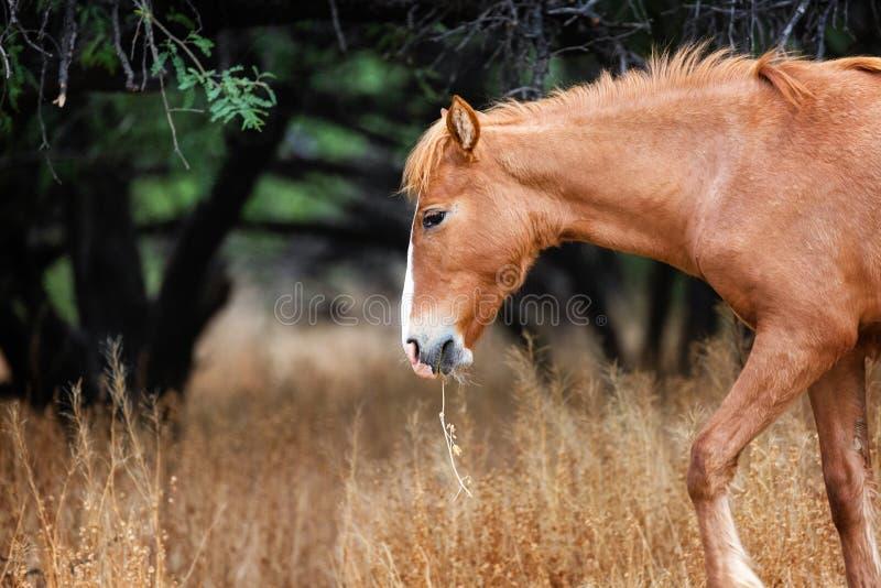 Cheval sauvage avec l'herbe dans la bouche photo stock