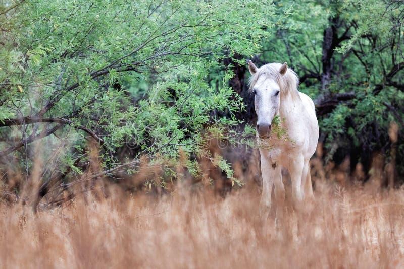 Cheval sauvage blanc dans le domaine regardant la caméra photographie stock