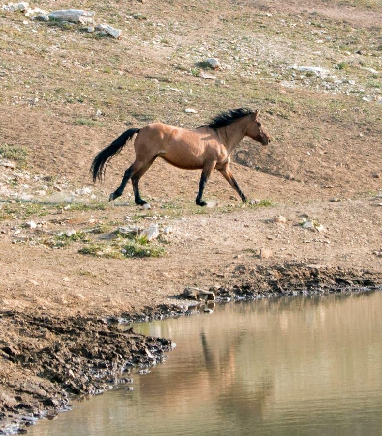 Cheval sauvage d'étalon brun grisâtre de peau de daim de baie fonctionnant à côté du trou d'eau dans la chaîne de cheval sauvage  images stock