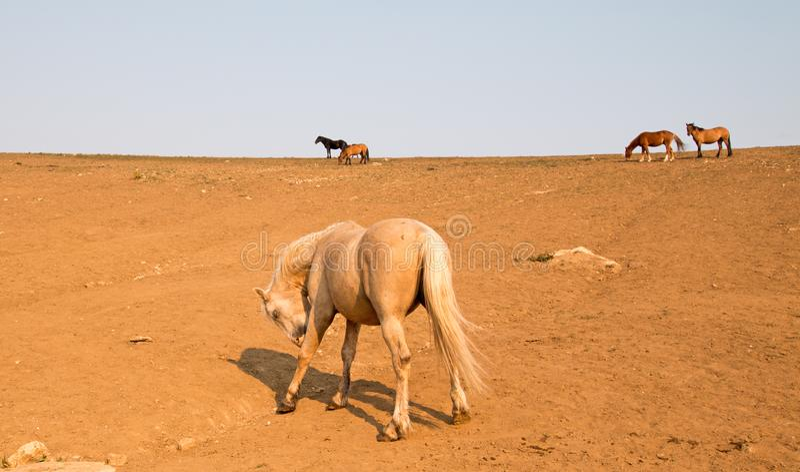 Cheval sauvage d'étalon de palomino léchant la jambe gauche blessée sur un flanc de coteau dans la chaîne de cheval sauvage de mo images libres de droits