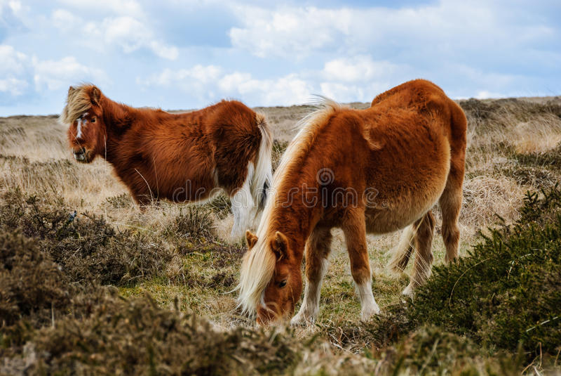 Cheval sauvage de Dartmoor photos libres de droits