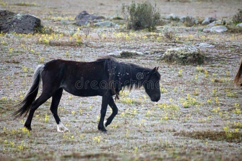 Cheval sauvage en Equateur photos stock