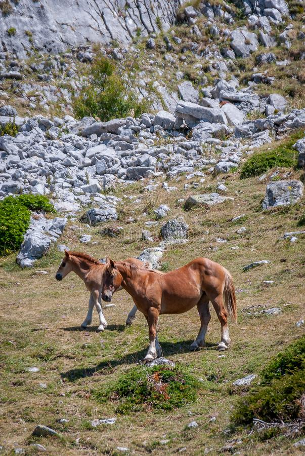 Cheval sauvage et poulain en parc national de Fuentes Carrionas Palencia photos libres de droits