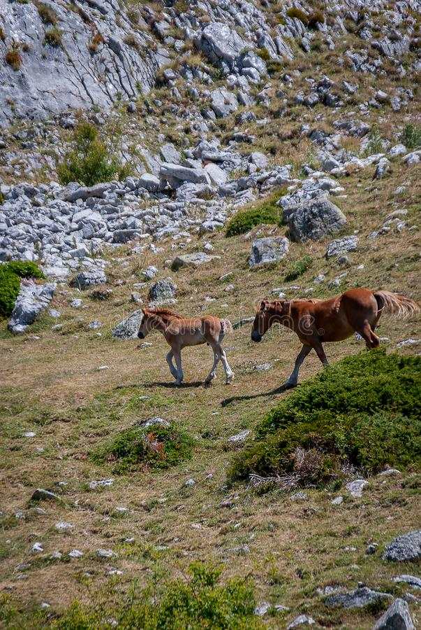 Cheval sauvage et poulain en parc national de Fuentes Carrionas Palencia photos stock