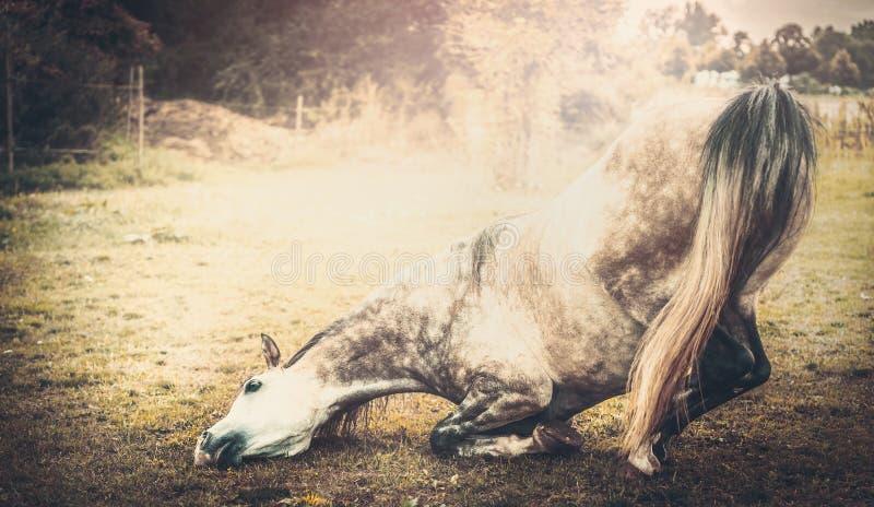 Cheval se mettant à genoux vers le bas, rétro dénommé photographie stock libre de droits